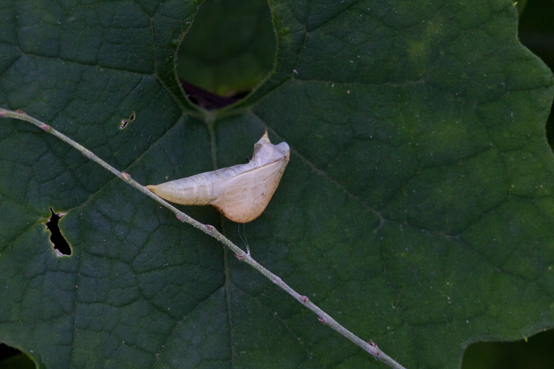 キタキチョウの蛹残骸