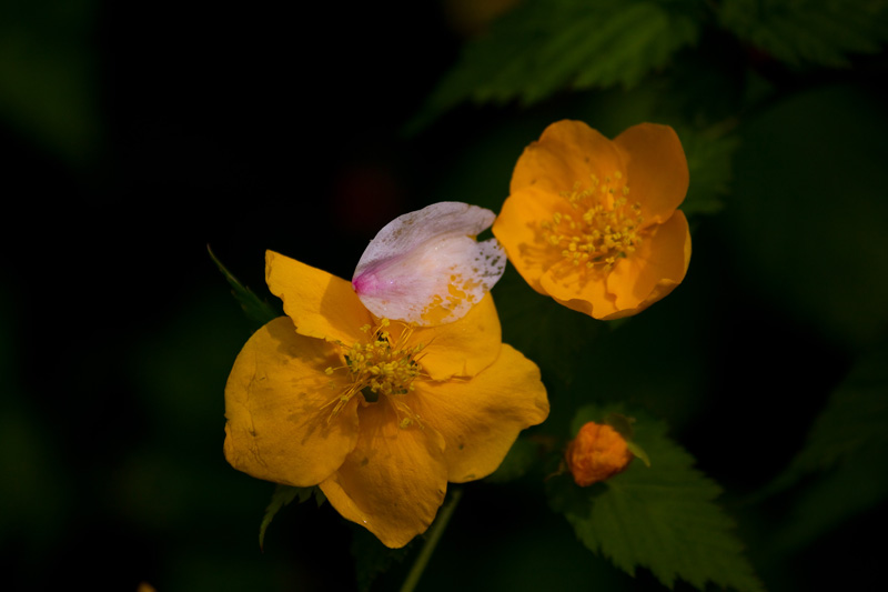 花びらとヤマブキ