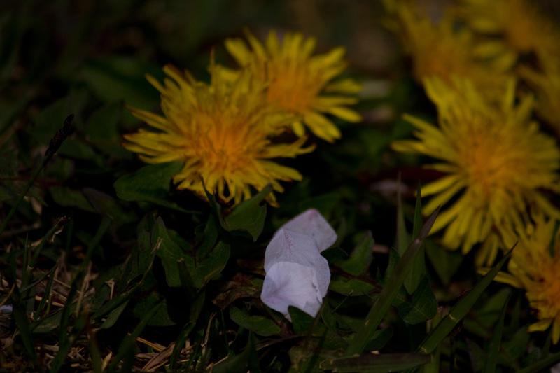 花びらとたんぽぽ