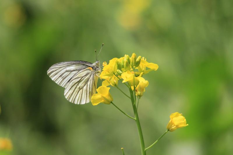 スジグロシロチョウ 春型