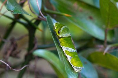 ナガサキアゲハ 幼虫
