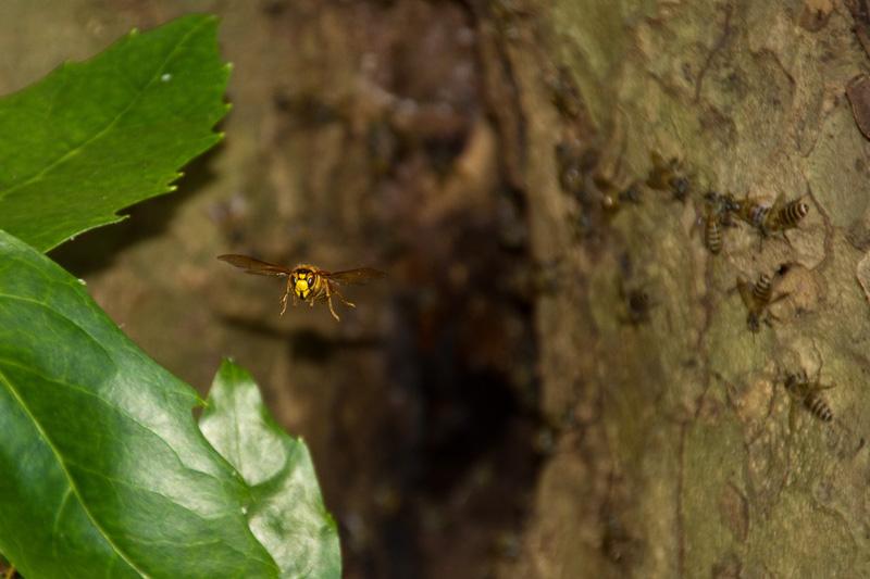 ニホンミツバチに迫るスズメバチ