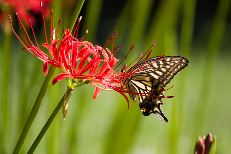 彼岸花とナミアゲハ