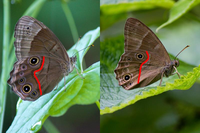 クロヒカゲとヒカゲチョウの見分け方