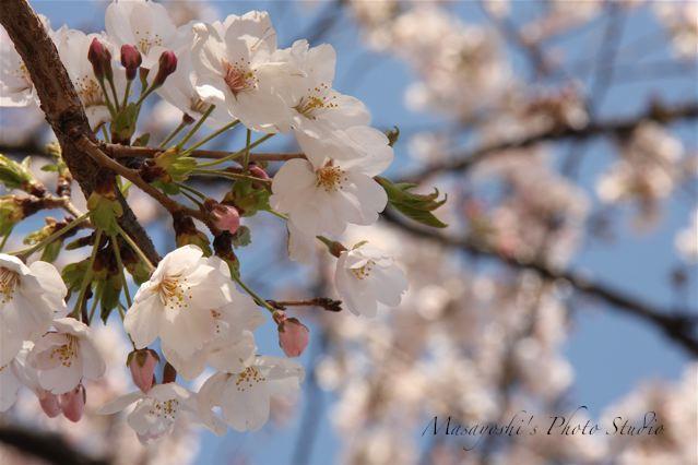 桜/2010