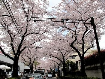 桜満開 1