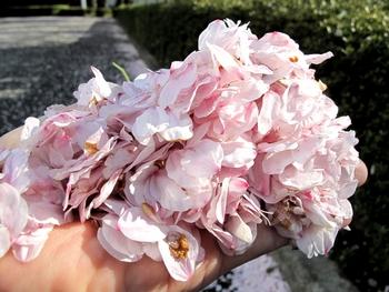 桜も散り始めました~