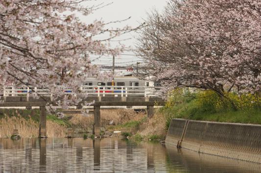 110403堂面川桜菜の花 (23) のコピー