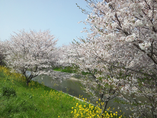 110409桜 (13) のコピー