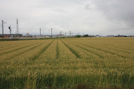 110522南瀬高麦畑 (11) のコピー