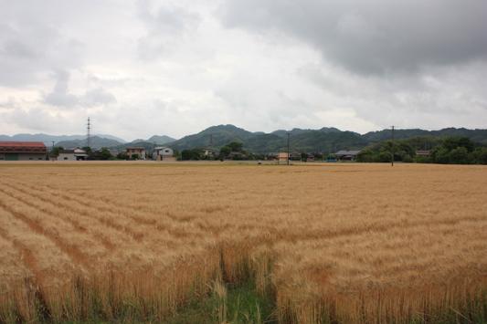 110522南瀬高麦畑 (10) のコピー