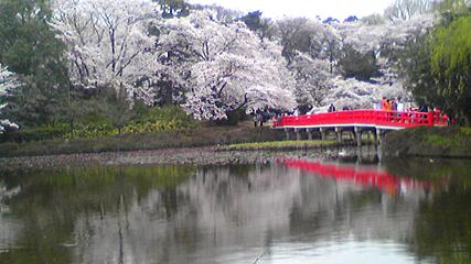 桜と池と橋