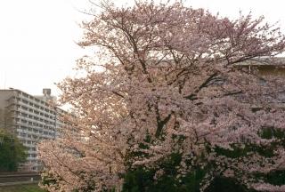 20110423 桜.jpg