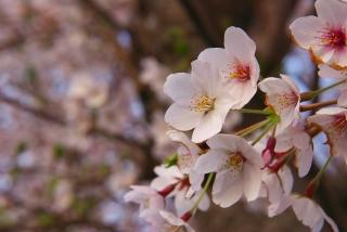 20110423 桜2.jpg