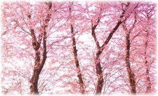 20110612 桜(図案面).jpg