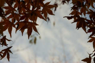 a-20111218 モミジ.jpg