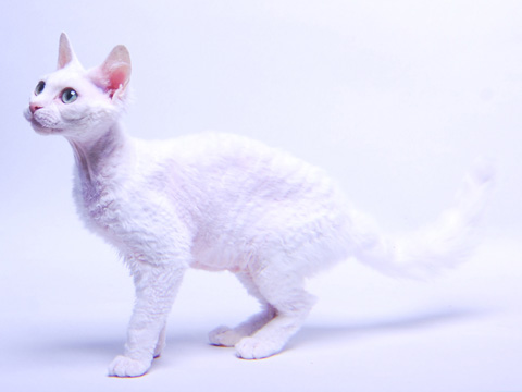 Devon_Rex_large_2.jpg