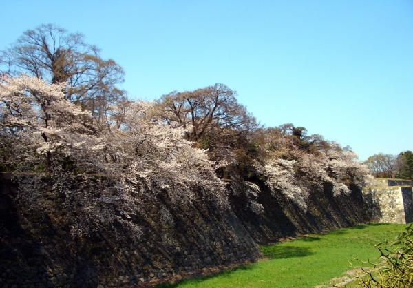 名古屋城の桜2