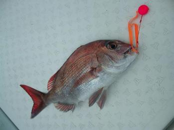35cm真鯛