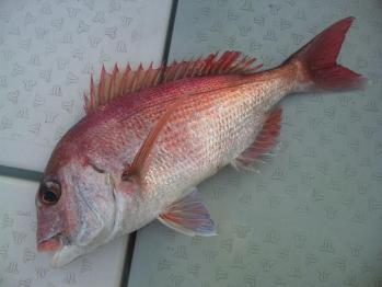 3枚目48cm真鯛