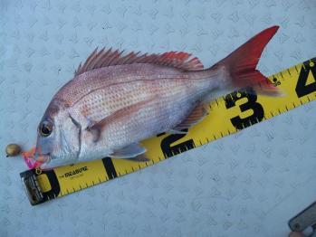 38cmの真鯛