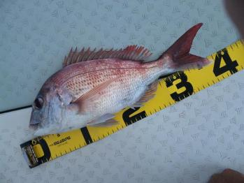 40cm真鯛