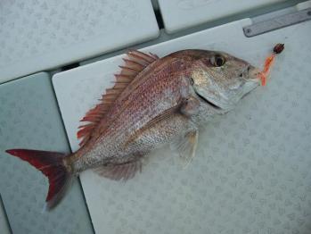 2枚目55cm真鯛