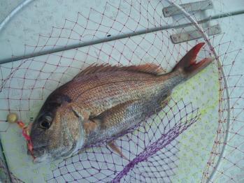 二枚目45cm真鯛