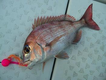 一枚目31cm真鯛