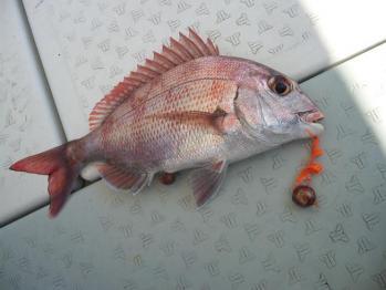 35cm真鯛ちゃん