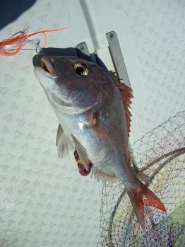 一枚目47cm真鯛
