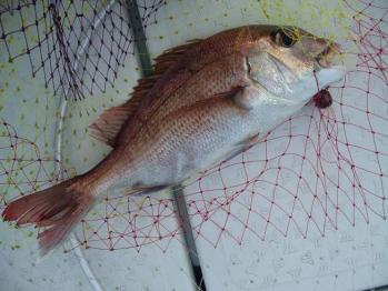 真鯛38cm