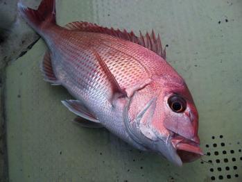 41cm真鯛