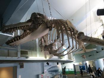 シャチの骨格標本!