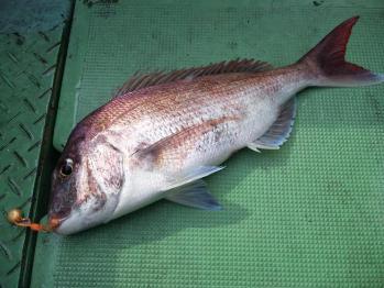 55cm真鯛