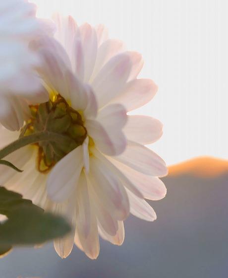 131123白い菊