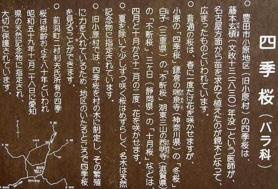 131127四季桜説明