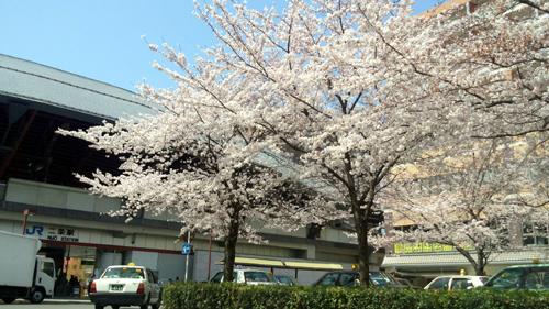 二条駅前桜