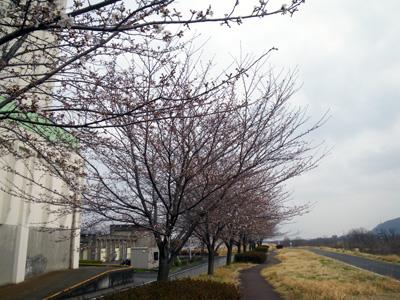 渡良瀬の桜