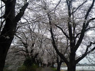 鹿ノ川沼桜堤