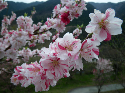 花桃咲いた