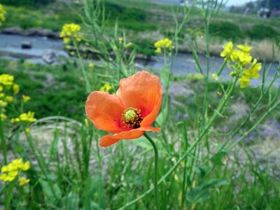 菜の花と長実雛罌粟