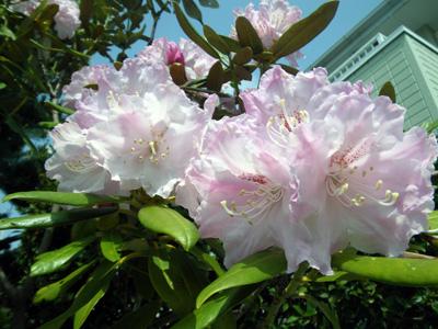 石楠花咲いた