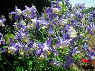 オダマキの花2
