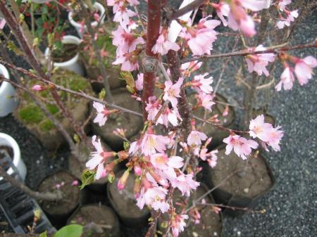 久留米植木祭り 084 - コピー