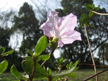清水の花 赤松茸 038 - コピー