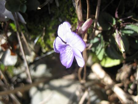 天山の花 071 - コピー
