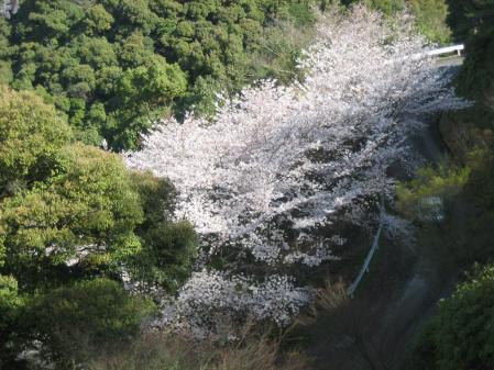 清水山の桜 021 - コピー