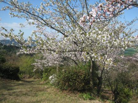 清水山の桜 011 - コピー