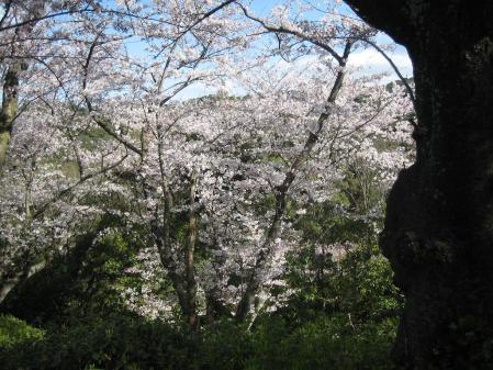 清水山の桜 017 - コピー